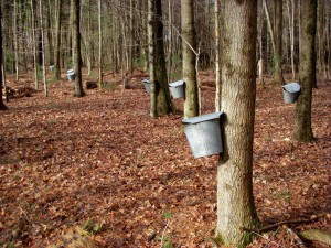 maple syrup buckets several