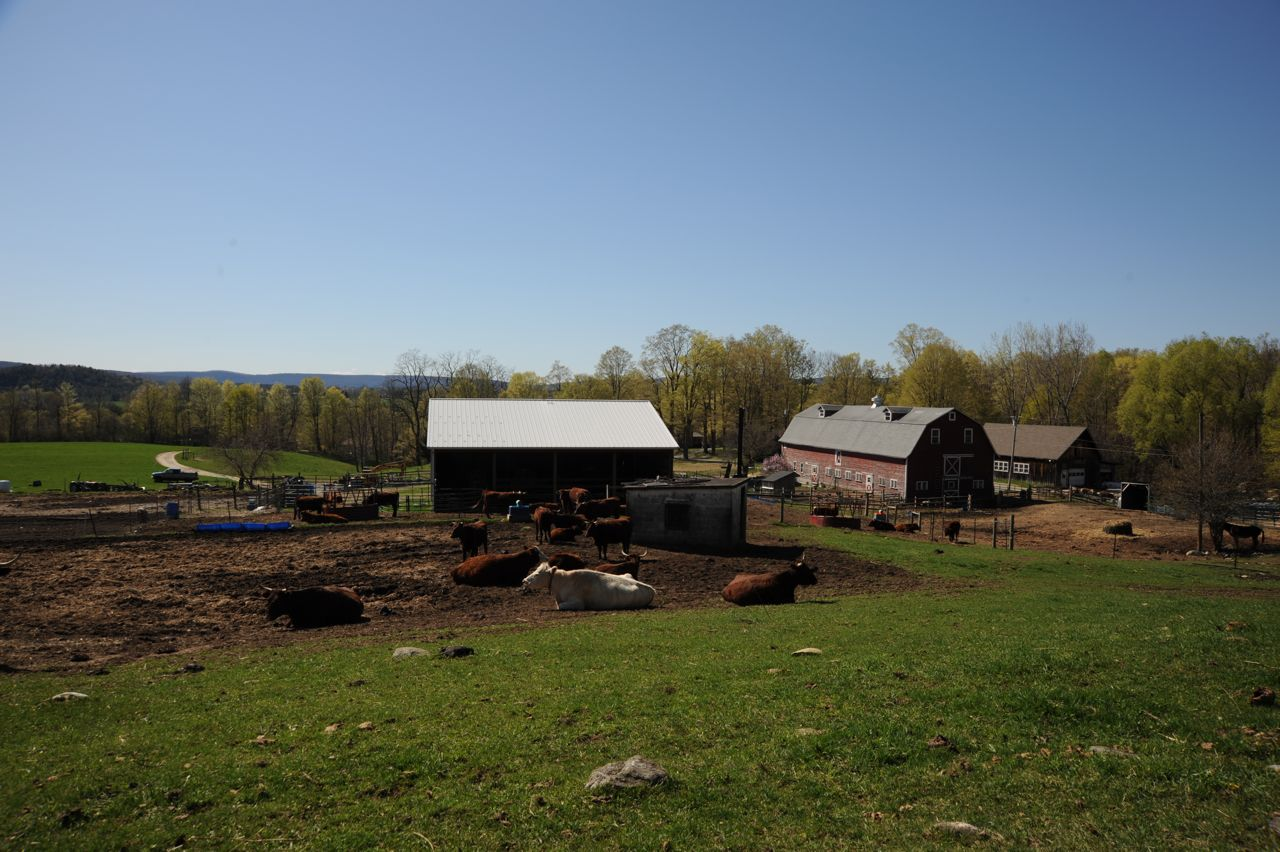 Leahey cows, barns, field