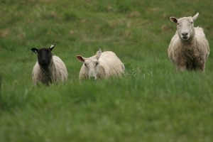 Sheep-to-Shawl-May-08-AE-photos-033-300x200