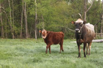 Sky View Farm - cows