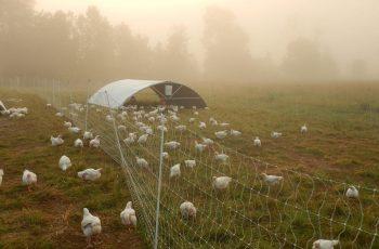 square-roots-farm-turkeys-on-pasture