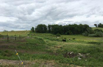 Cows in Field (JP) (3)